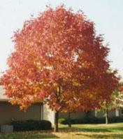 cimmaron ash tree