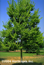 Hackberry Tree  Celtis Occidentalis - spring color