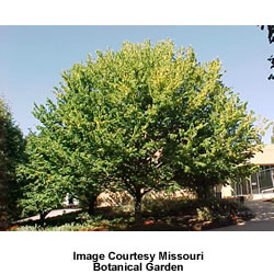 Hackberry Tree Celtis Occidentalis - mature shape