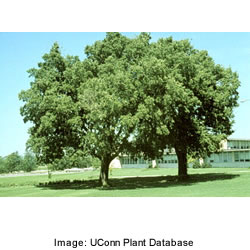Hackberry Trees - Celtis Occidentalis in park