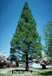 Dawn Redwood tree - Metasequoia glyptostroboides
