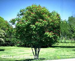 Dwarf Red Buckeye Tree - Aesculus pavia