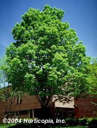 green ash tree in summer color