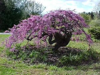 lavender twist weeping redbud