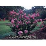 CrapeMyrtle_Purple_big.jpg