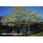 White_Flowering_Dogwood_New_1.jpg