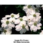 white_flowering_dogwood_2.jpg