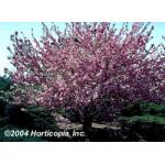 kwanzan_flowering_cherry_2.jpeg
