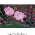 kwanzan_flowering_cherry_3.jpeg