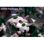 pink_flowering_dogwood_4.jpeg