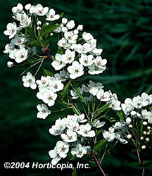 aristocrat_flowering_pear_2.jpeg