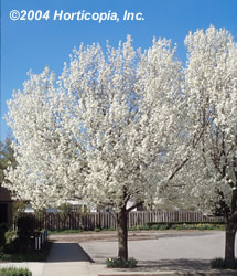 bradford_flowering_pear_1.jpeg