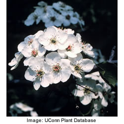 bradford_flowering_pear_3.jpeg
