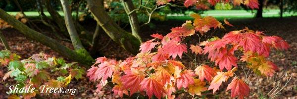 iStock_vine-maple-leaves-trunks-forest-floor.jpg