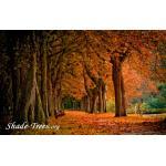 iStock_orange-leaves-multi-trunks-fall-Small.jpg