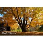 iStock_yellow-leaves-large-tree-park.jpg